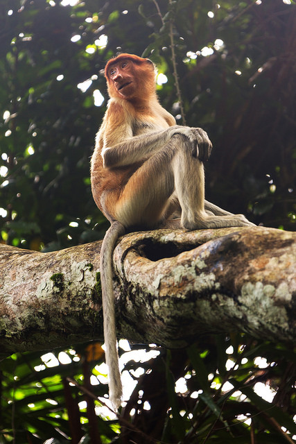 Proboscis Monkey Sitting on a Branch