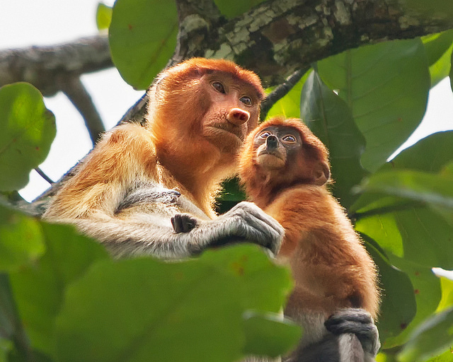 Proboscis Monkey with Baby at Bako NP