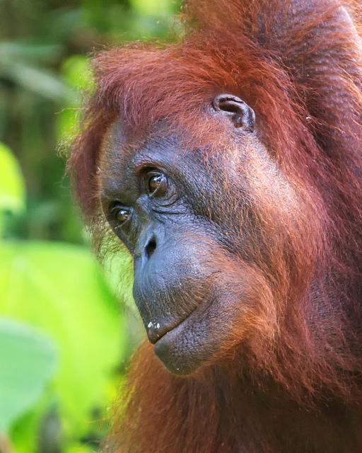 Semenggoh Orangutan Closeup