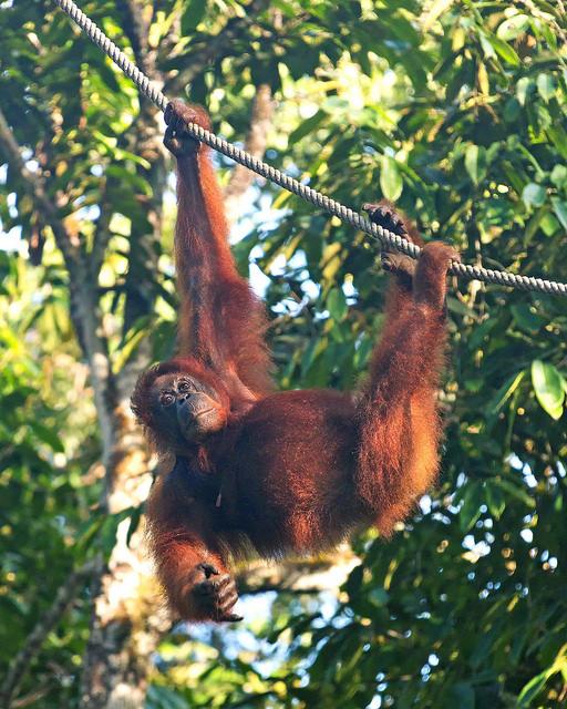 Semenggoh Orangutan