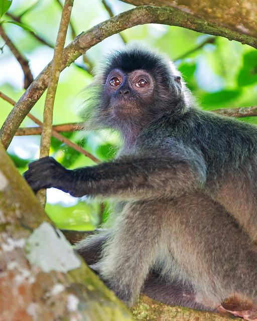 Silvered Leaf Monkey at Bako