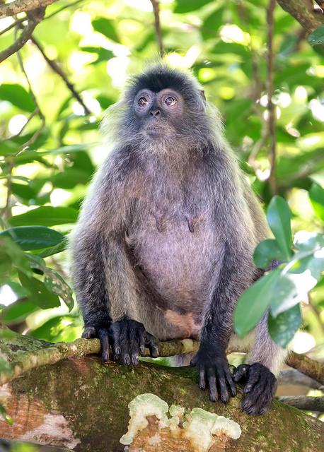 Silvered Leaf Monkey on a Branch
