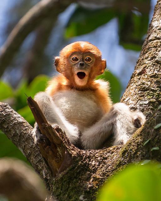 Surprised Proboscis Baby