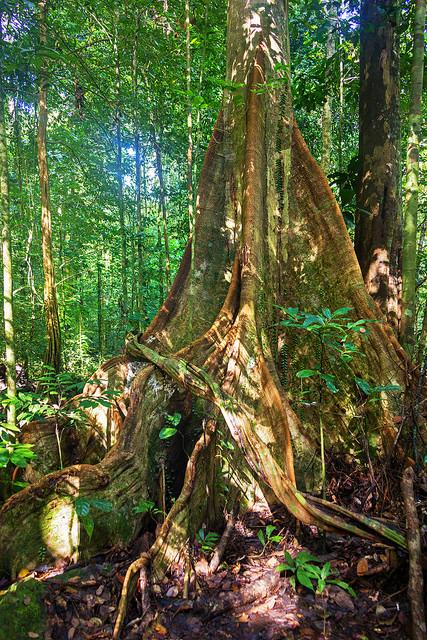 Tree in Kubah National Park