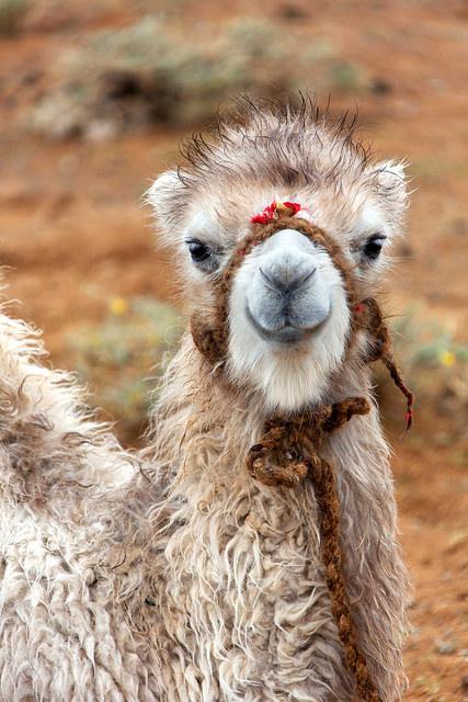 Baby Camel Close-up