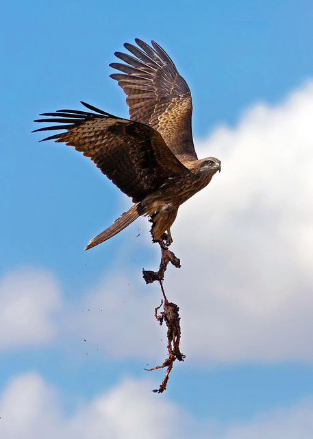 Bird of Prey with Sheep Entrails