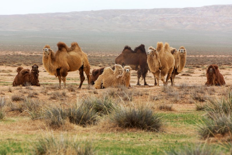 Camels Near the White Stupa