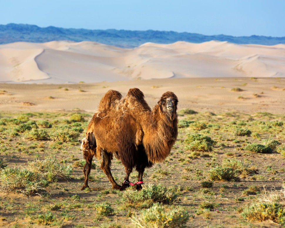 Early Light on Camel at Khongoryn Els