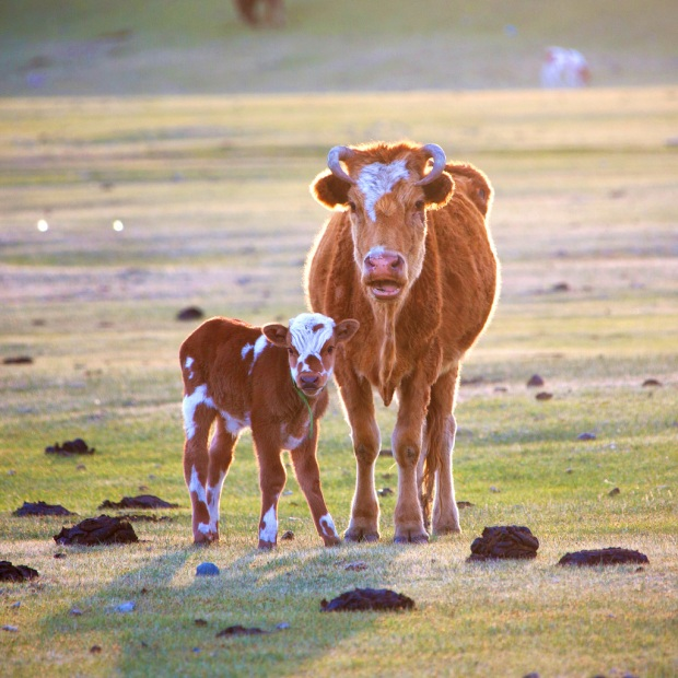 First Light on Mongolian Cow with Calf