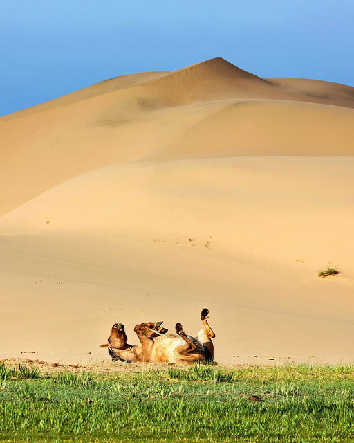 Horse Rolling at Khongoryn Els
