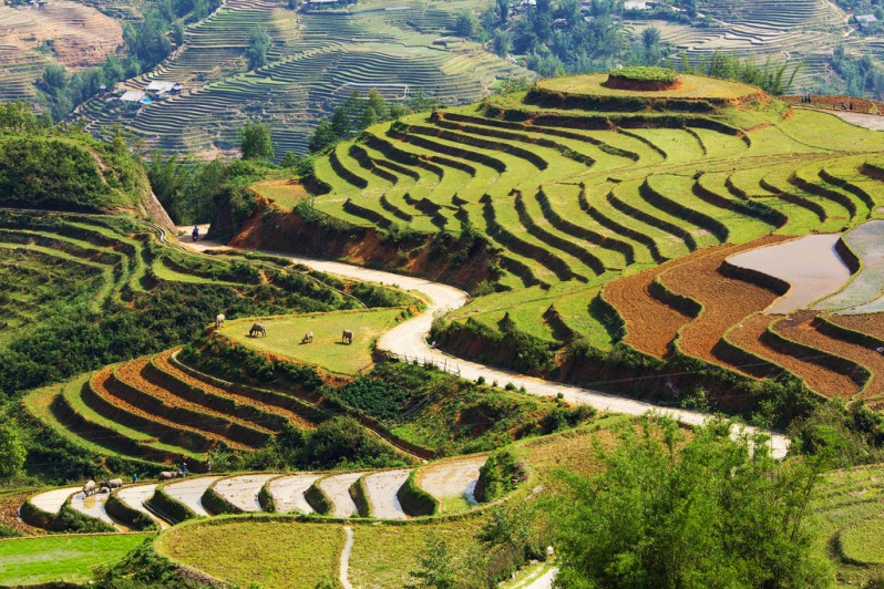 Rice Terraces and Water Buffalo