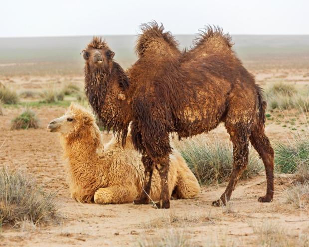 Two Camels Near the White Stupa
