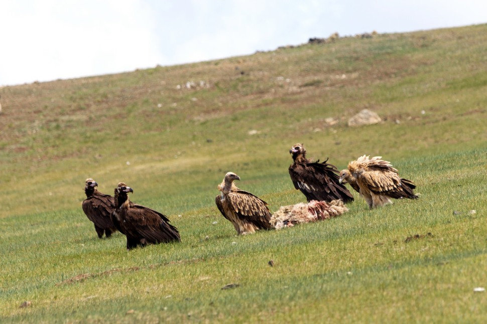 Vultures Eating a Sheep Carcass