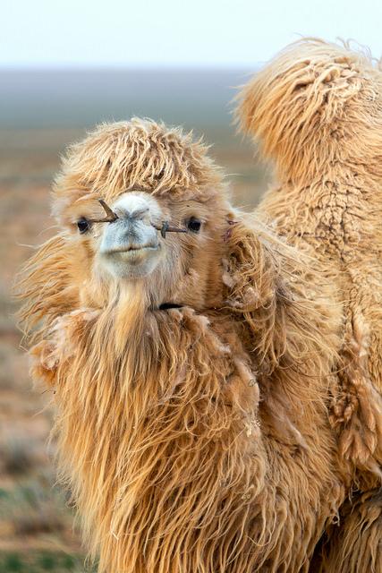 White Camel Close-up