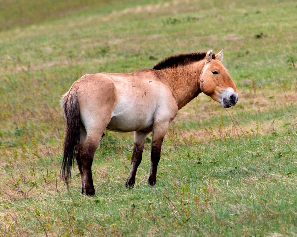 Wild Horse at Khustain