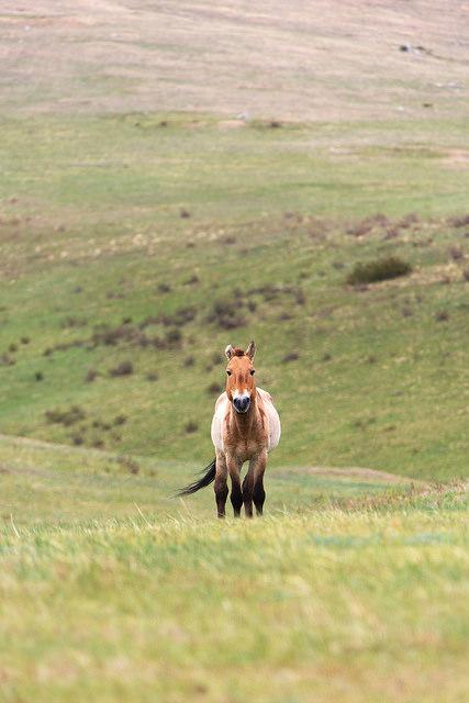 Wild Horse Portrait at Khustain