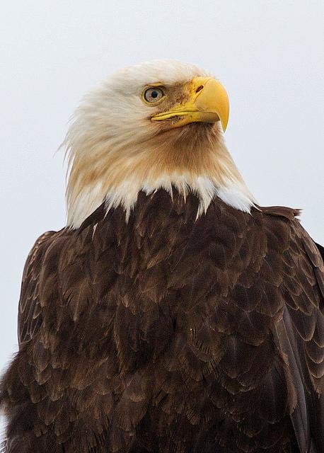 Bald Eagle in Gustavus