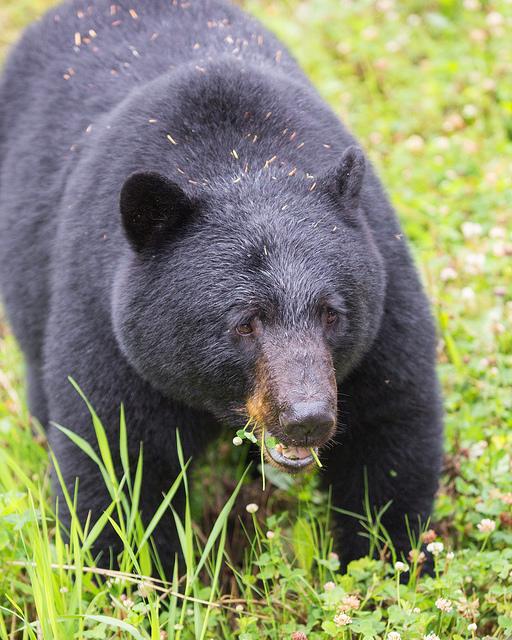 Black Bear Near Stewart