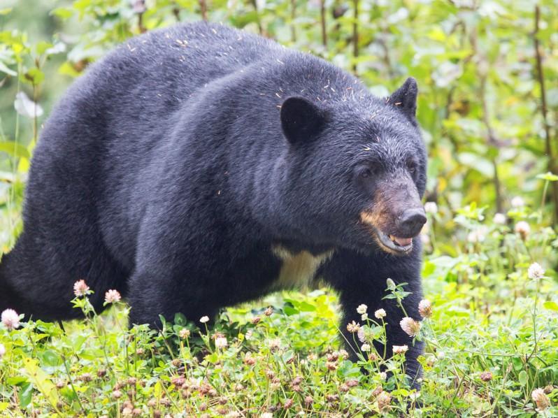 Black Bear Outside of Stewart