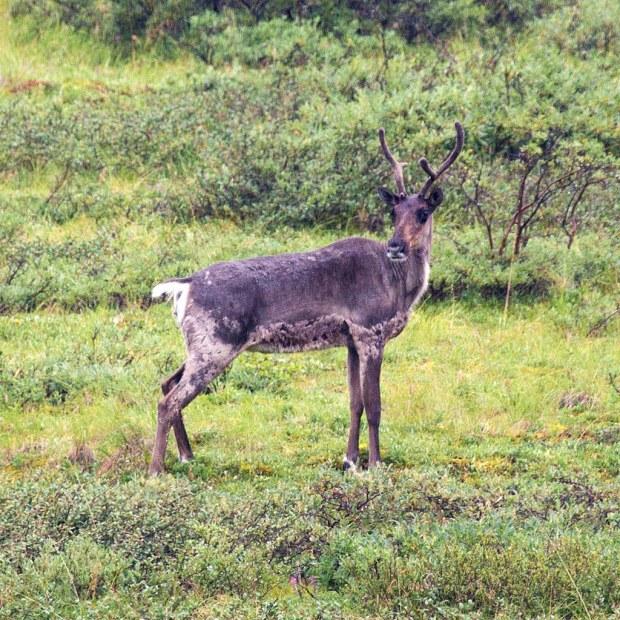 Caribou at Denali