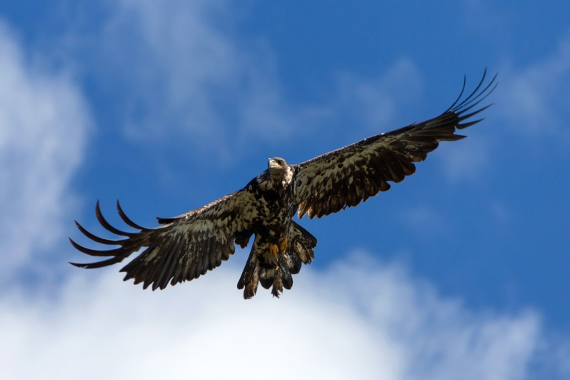 Golden Eagle at Kobuk Valley National Park