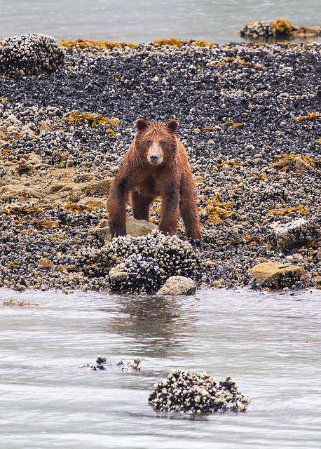 Grizzly Mom at Glacier Bay NP