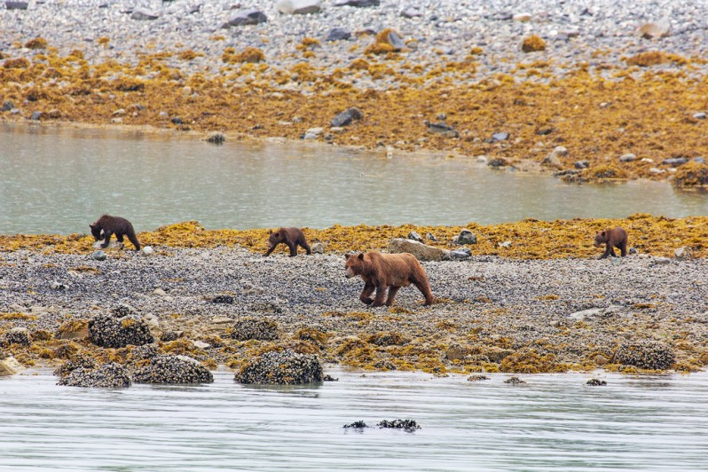 Grizzly Mom with Three Cubs