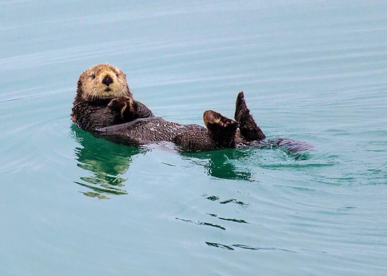 Sea Otter at Glacier Bay National Park