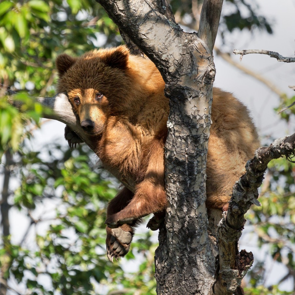 cub-adult-up-a-tree