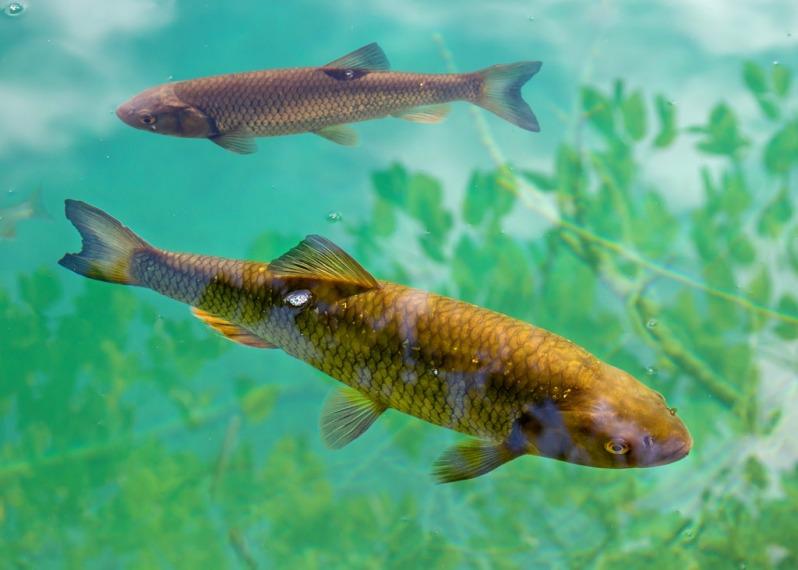fish-at-plitvice