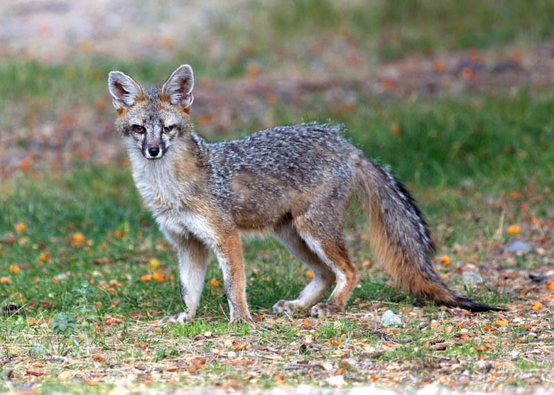 Fox at Great Basin NP