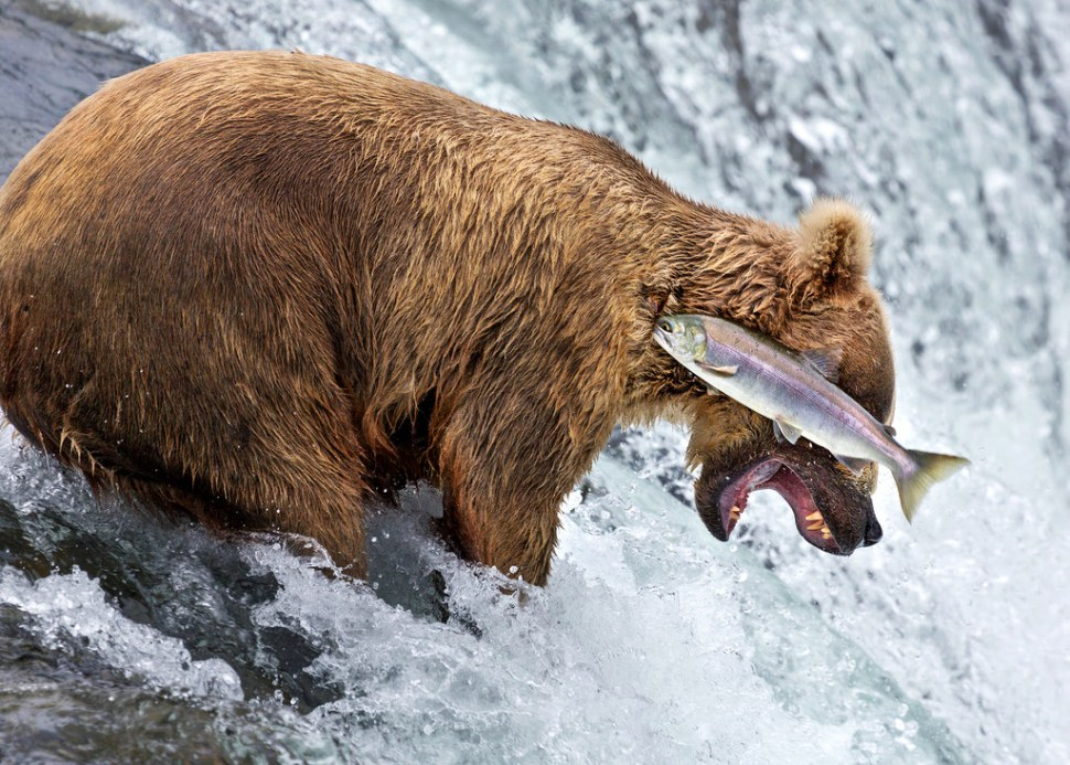 grizzly-bear-fail