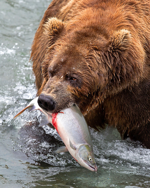 grizzly-dinner