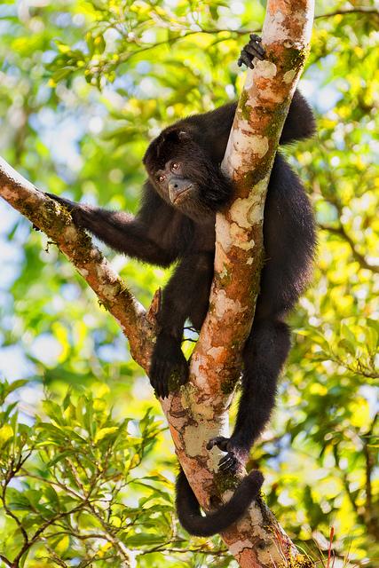 howler-monkey-at-tikal