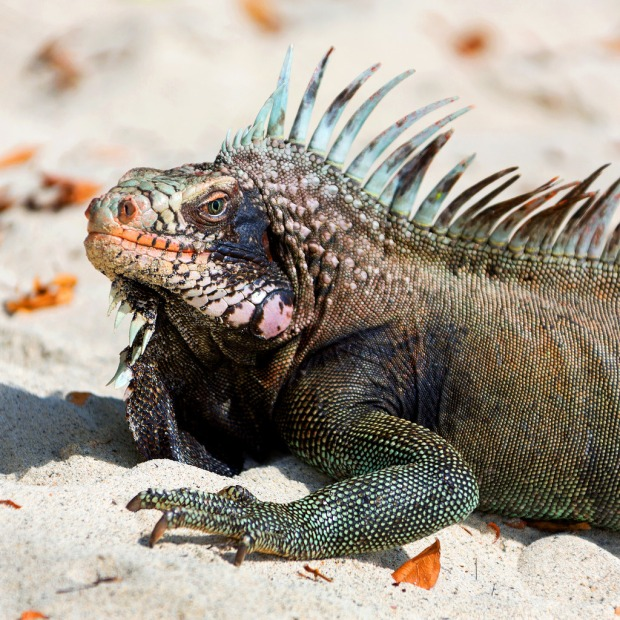 iguana-at-cinnamon-bay