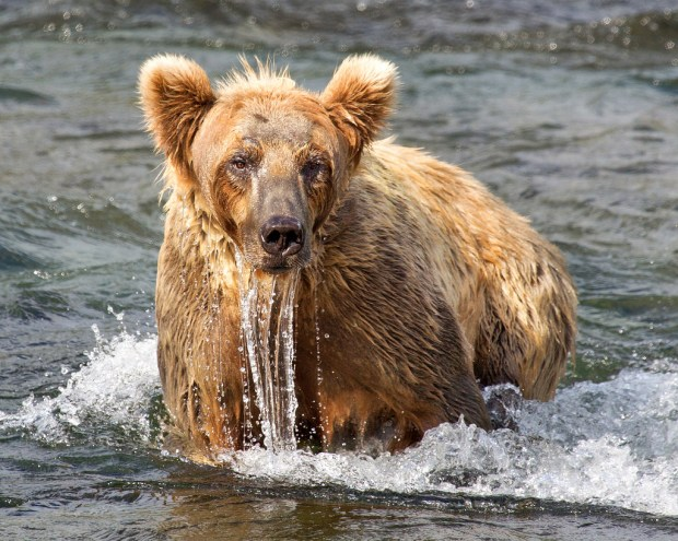katmai-bear-after-snorkeling
