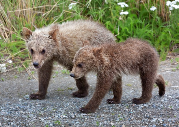 katmai-bear-cubs