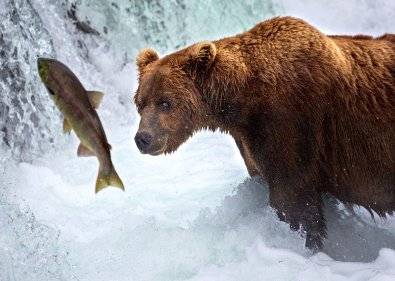 katmai-bear-tracking-salmon