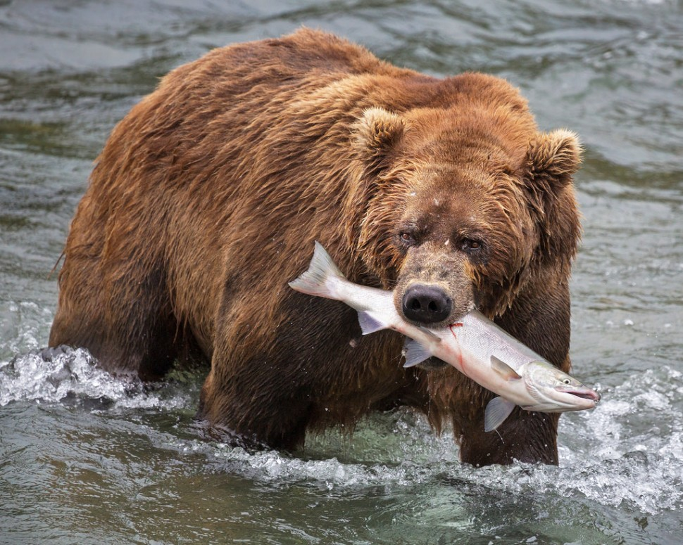 katmai-bear-with-a-salmon