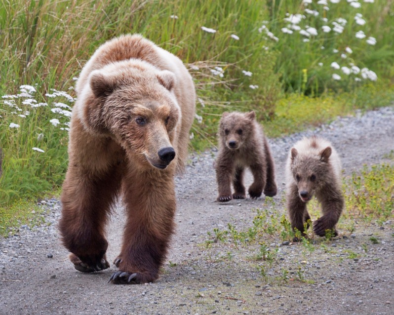 katmai-grizzly-mom-with-cubs