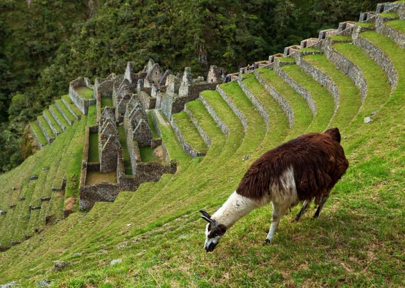 llama-at-winay-wayna
