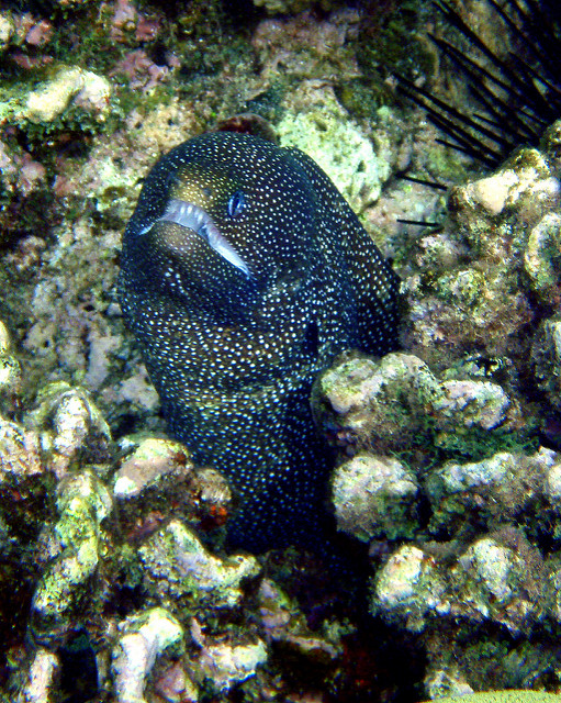 Moray Eel Straight On