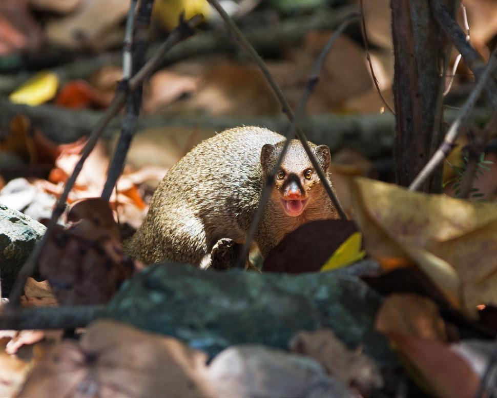 virgin-islands-mongoose