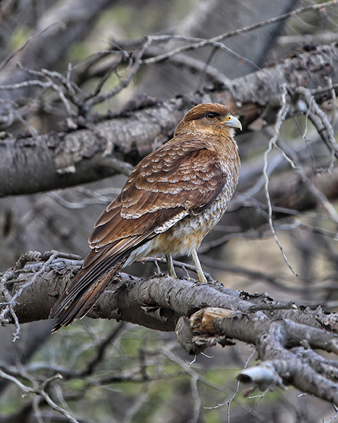 bird-of-prey-at-torres-del-paine
