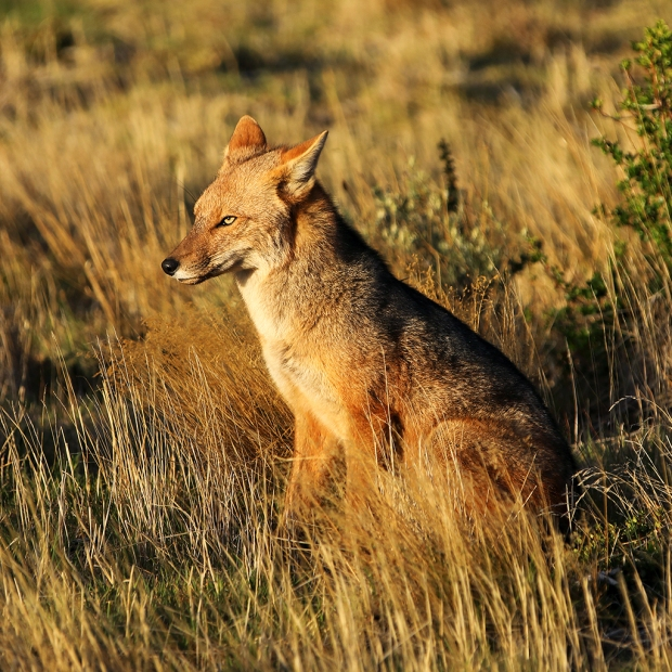 early-light-on-patagonian-fox-near-paine-grande