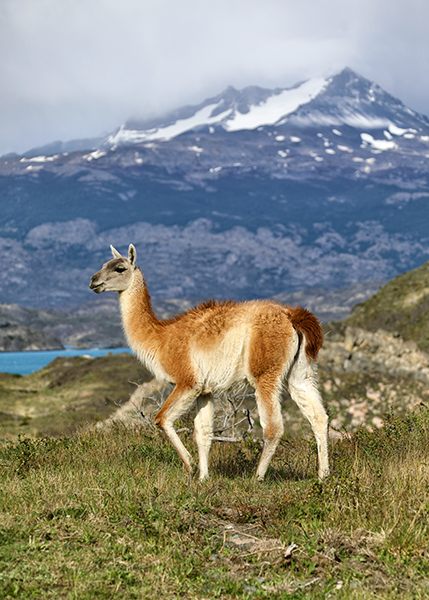 guanaco-at-torres-del-paine