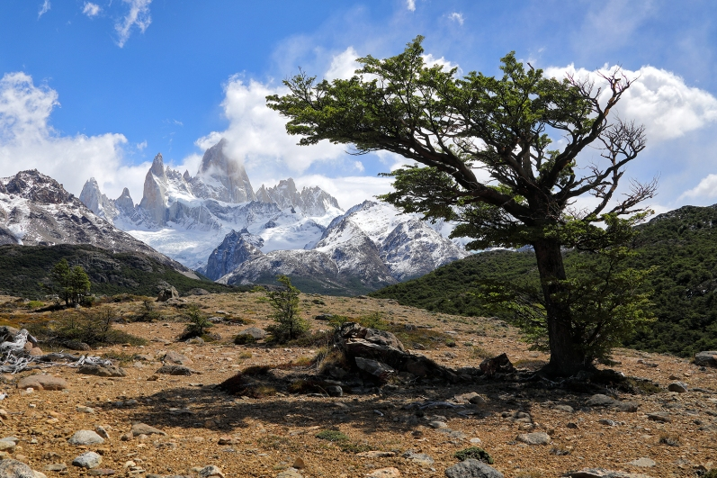 tree-near-fitz-roy