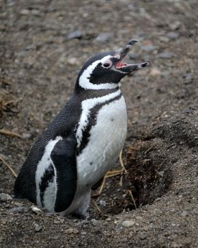 barbaric-penguin-yawp