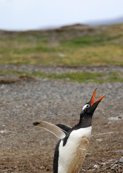 gentoo-penguin-portrait