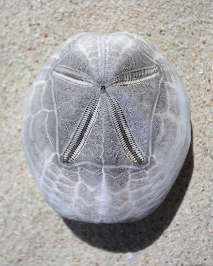 ofu-beach-sand-dollar